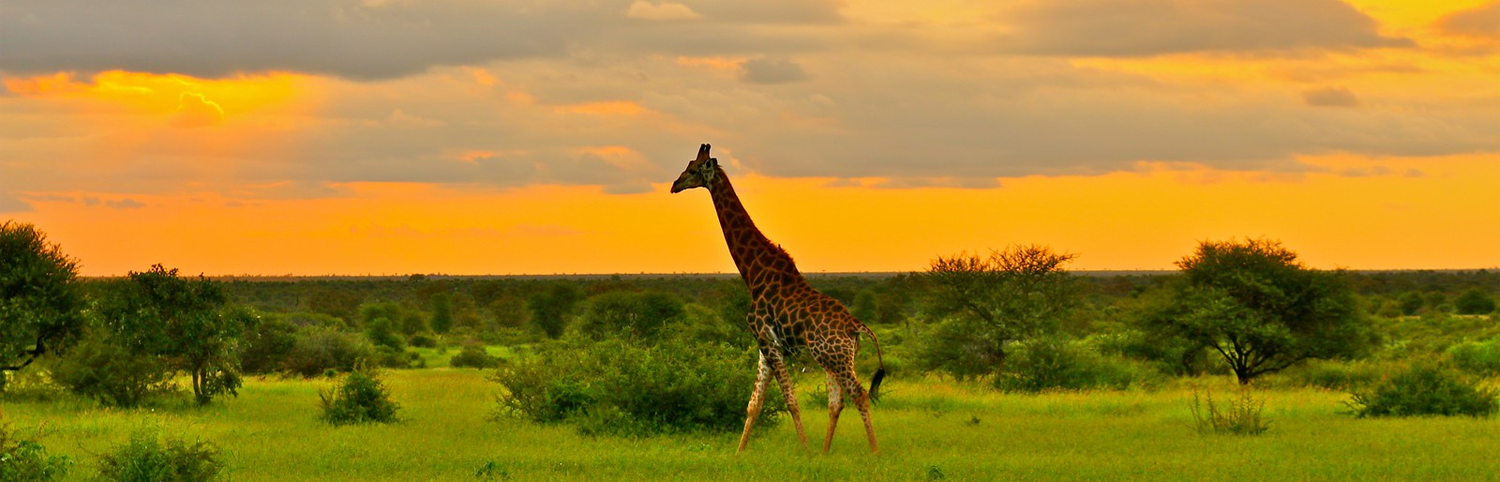 Giraffe at Kruger National Park, in northeastern South Africa, one of Africa's largest game reserves